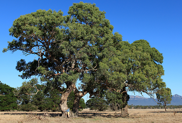 Koren hugging an enormous, old gum tree at the foot of the Grampians Mountains, Victoria