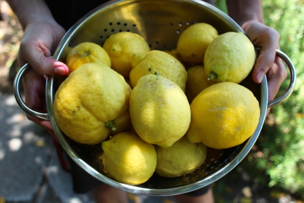 Lemons freshly picked and ready to make limoncello