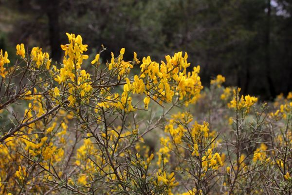Spring flowers growing wild on the Sierra Mariola mountain range in Spain